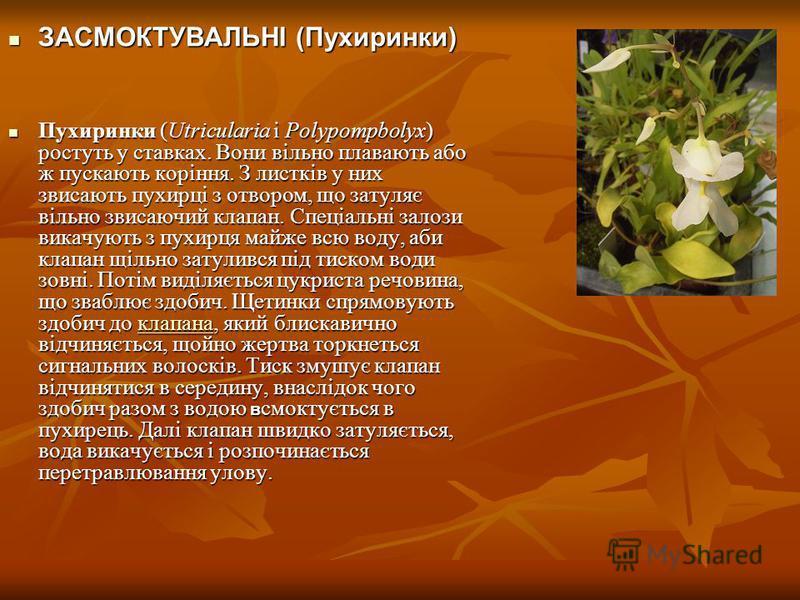 ЗАСМОКТУВАЛЬНІ (Пухиринки) ЗАСМОКТУВАЛЬНІ (Пухиринки) Пухиринки (Utricularia i Polypompbolyx) ростуть у ставках. Вони вільно плавають або ж пускають коріння. З листків у них звисають пухирці з отвором, що затуляє вільно звисаючий клапан. Спеціальні з