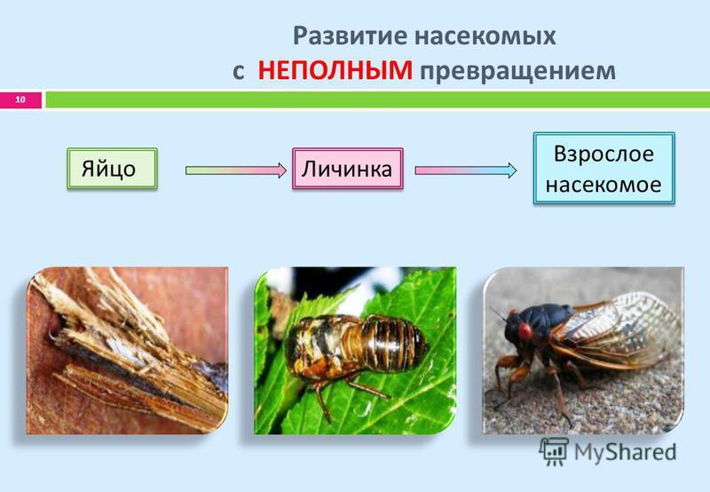 Развитие насекомых с НЕПОЛНЫМ превращением 10 Яйцо Личинка Взрослое насекомое