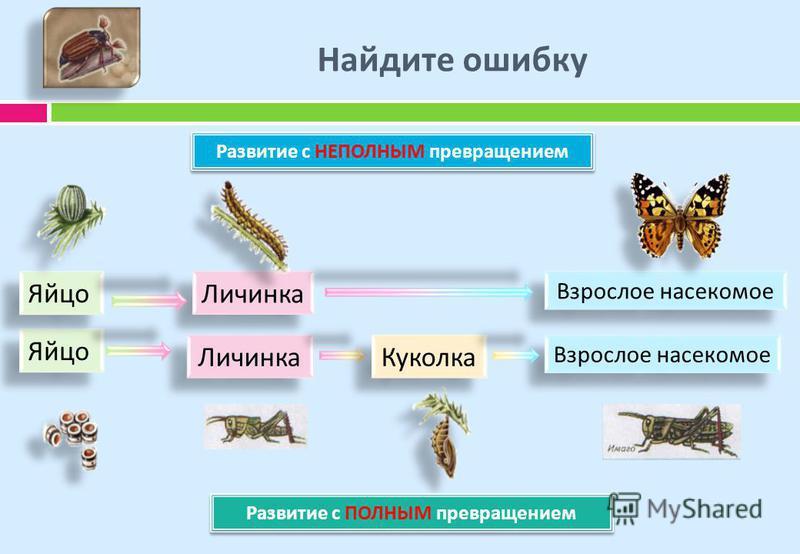 Найдите ошибку Яйцо Личинка Взрослое насекомое Куколка Яйцо Личинка Взрослое насекомое Развитие с НЕПОЛНЫМ превращением Развитие с ПОЛНЫМ превращением