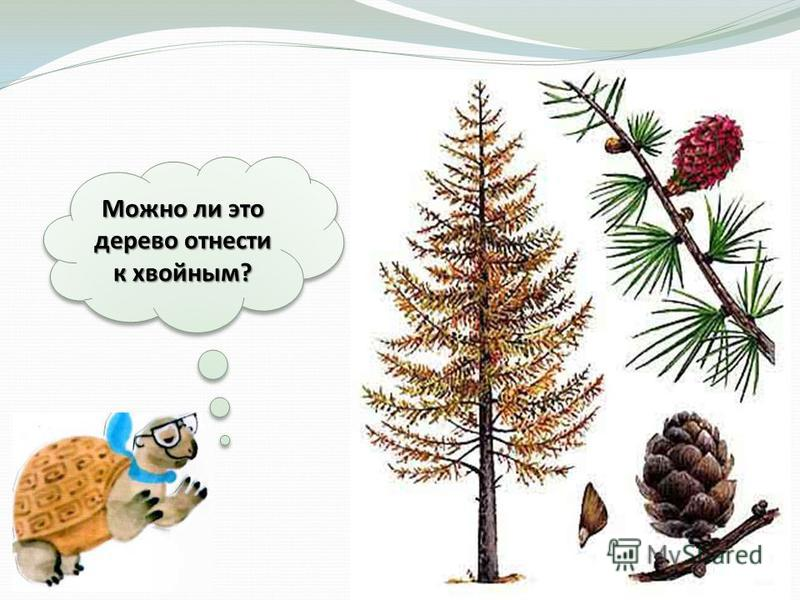 Можно ли это дерево отнести к хвойным?