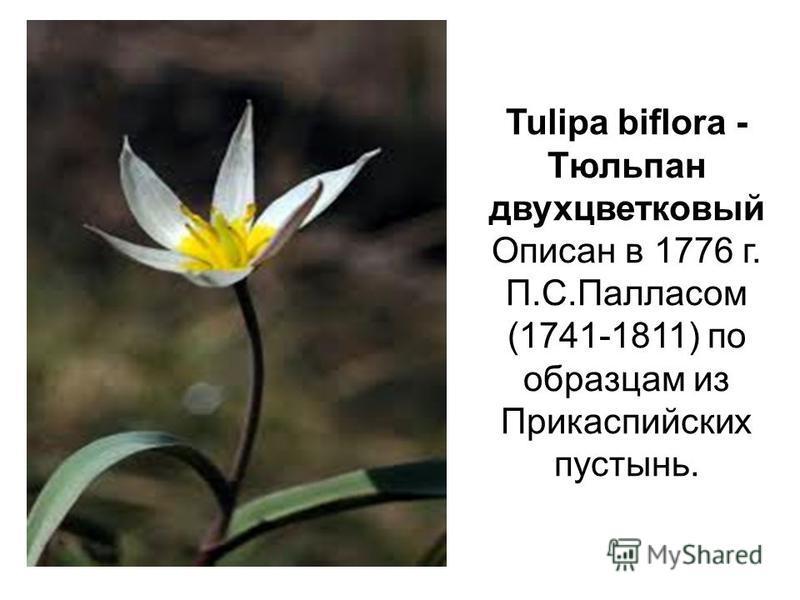 Tulipa biflora - Тюльпан двухцветковый Описан в 1776 г. П.С.Палласом (1741-1811) по образцам из Прикаспийских пустынь.