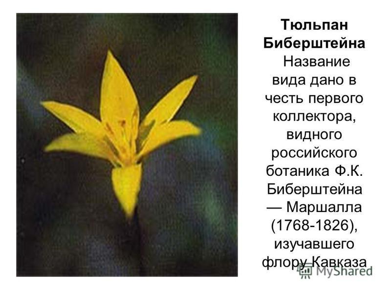 Тюльпан Биберштейна Название вида дано в честь первого коллектора, видного российского ботаника Ф.К. Биберштейна Маршалла (1768-1826), изучавшего флору Кавказа