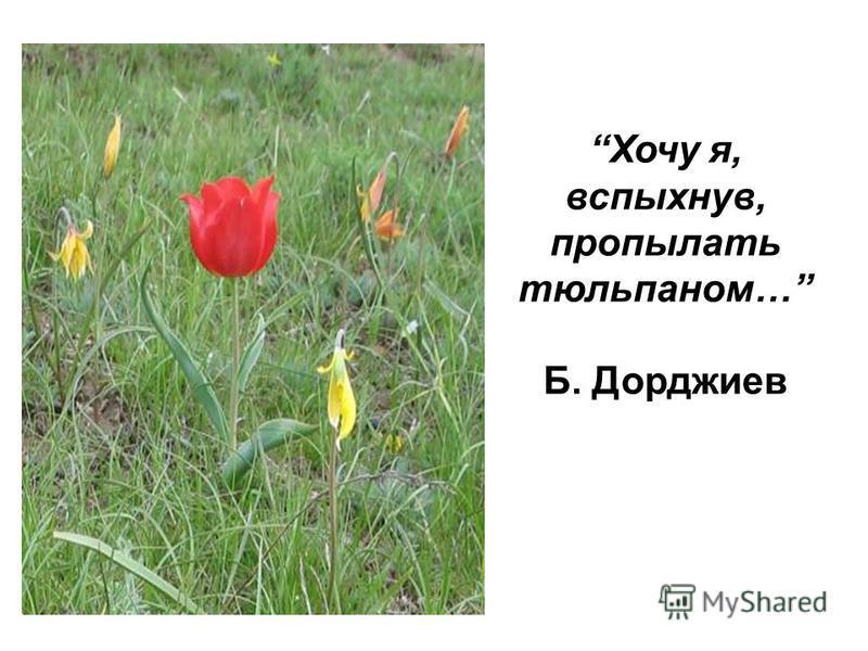 Хочу я, вспыхнув, про пылать тюльпаном… Б. Дорджиев