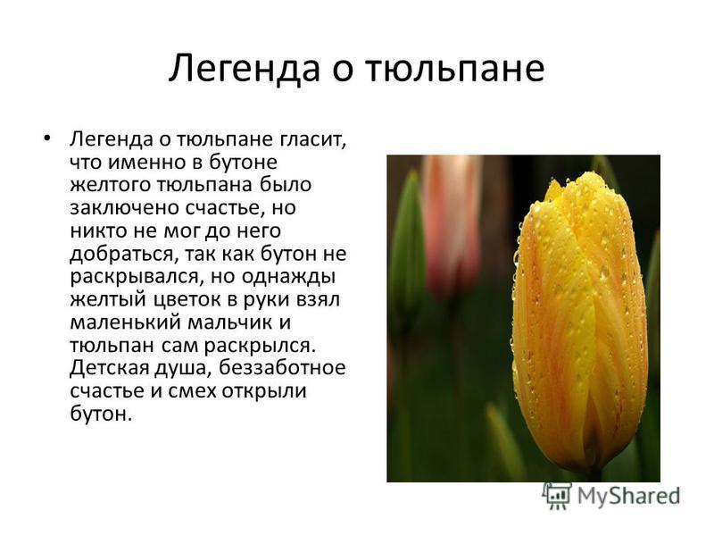 Легенда о тюльпане Легенда о тюльпане гласит, что именно в бутоне желтого тюльпана было заключено счастье, но никто не мог до него добраться, так как бутон не раскрывался, но однажды желтый цветок в руки взял маленький мальчик и тюльпан сам раскрылся