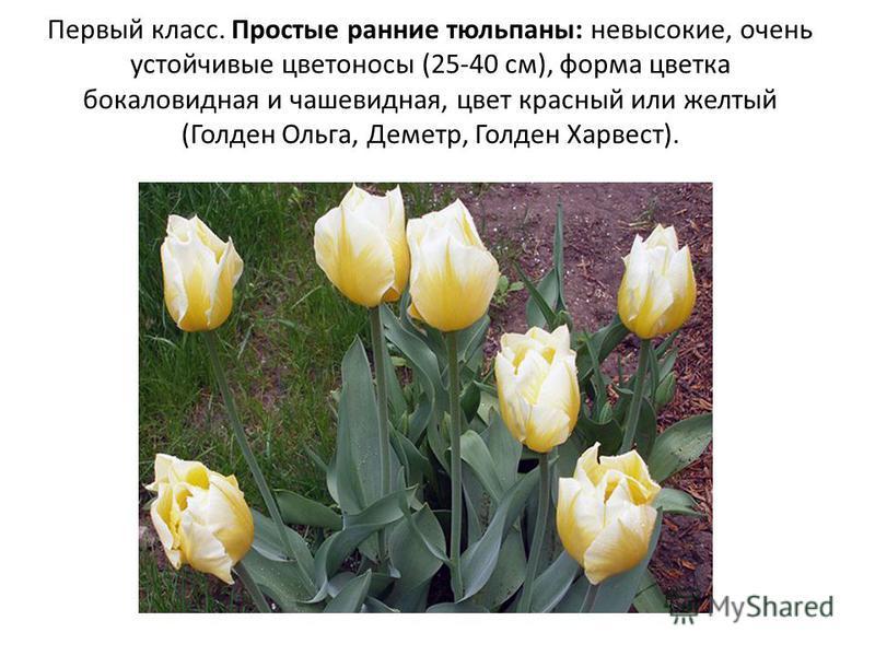Первый класс. Простые ранние тюльпаны: невысокие, очень устойчивые цветоносы (25-40 см), форма цветка бокаловидная и чашевидная, цвет красный или желтый (Голден Ольга, Деметр, Голден Харвест).