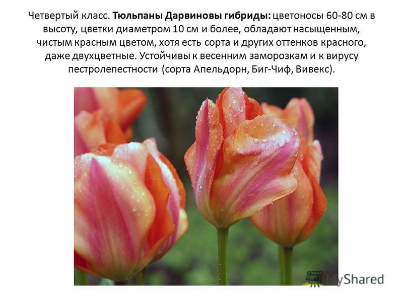 Четвертый класс. Тюльпаны Дарвиновы гибриды: цветоносы 60-80 см в высоту, цветки диаметром 10 см и более, обладают насыщенным, чистым красным цветом, хотя есть сорта и других оттенков красного, даже двухцветные. Устойчивы к весенним заморозкам и к ви