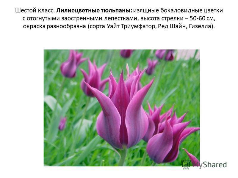 Шестой класс. Лилиецветные тюльпаны: изящные бокаловидные цветки с отогнутыми заостренными лепестками, высота стрелки – 50-60 см, окраска разнообразна (сорта Уайт Триумфатор, Ред Шайн, Гизелла).