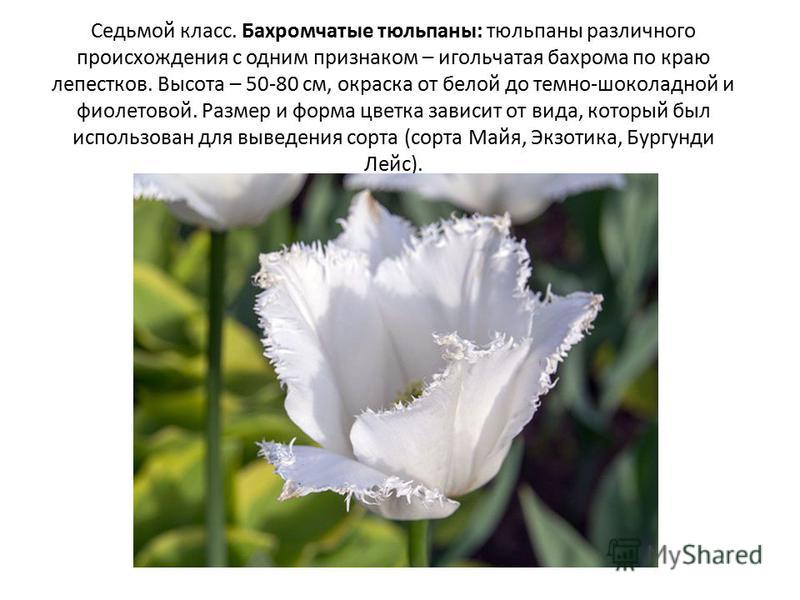 Седьмой класс. Бахромчатые тюльпаны: тюльпаны различного происхождения с одним признаком – игольчатая бахрома по краю лепестков. Высота – 50-80 см, окраска от белой до темно-шоколадной и фиолетовой. Размер и форма цветка зависит от вида, который был