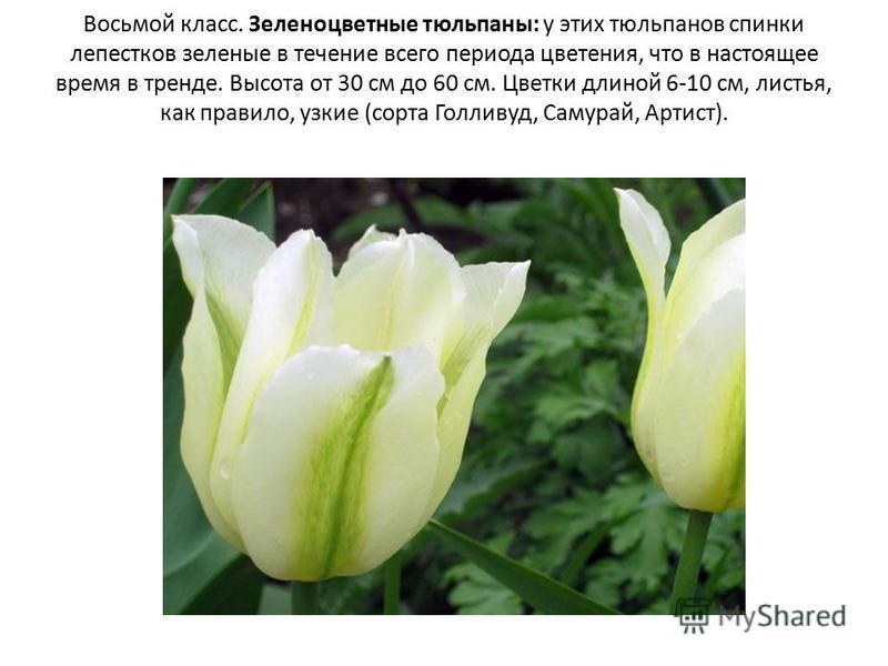 Восьмой класс. Зеленоцветные тюльпаны: у этих тюльпанов спинки лепестков зеленые в течение всего периода цветения, что в настоящее время в тренде. Высота от 30 см до 60 см. Цветки длиной 6-10 см, листья, как правило, узкие (сорта Голливуд, Самурай, А