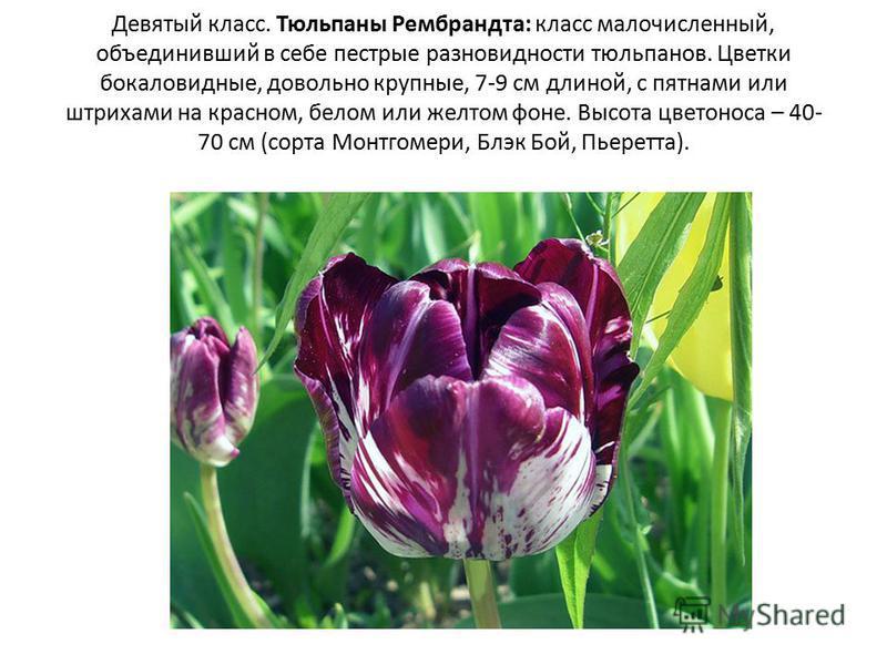Девятый класс. Тюльпаны Рембрандта: класс малочисленный, объединивший в себе пестрые разновидности тюльпанов. Цветки бокаловидные, довольно крупные, 7-9 см длиной, с пятнами или штрихами на красном, белом или желтом фоне. Высота цветоноса – 40- 70 см