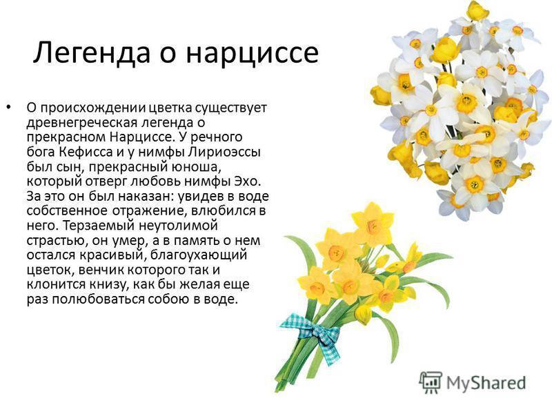 Легенда о нарциссе О происхождении цветка существует древнегреческая легенда о прекрасном Нарциссе. У речного бога Кефисса и у нимфы Лириоэссы был сын, прекрасный юноша, который отверг любовь нимфы Эхо. За это он был наказан: увидев в воде собственно