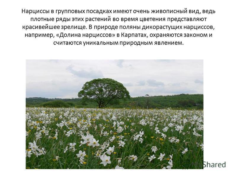 Нарциссы в групповых посадках имеют очень живописный вид, ведь плотные ряды этих растений во время цветения представляют красивейшее зрелище. В природе поляны дикорастущих нарциссов, например, «Долина нарциссов» в Карпатах, охраняются законом и счита