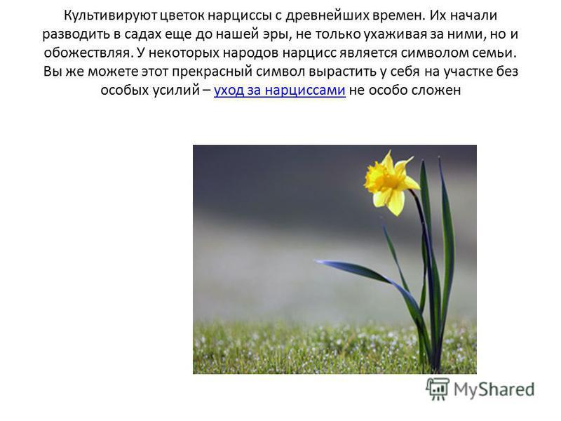 Культивируют цветок нарциссы с древнейших времен. Их начали разводить в садах еще до нашей эры, не только ухаживая за ними, но и обожествляя. У некоторых народов нарцисс является символом семьи. Вы же можете этот прекрасный символ вырастить у себя на