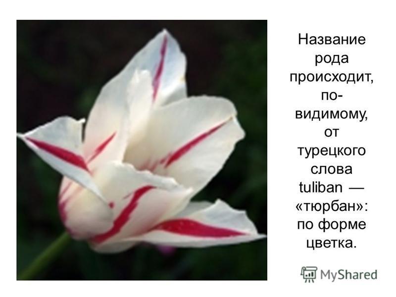Название рода происходит, по- видимому, от турецкого слова tuliban «тюрбан»: по форме цветка.
