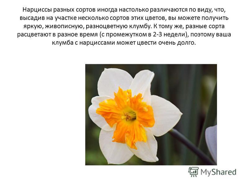Нарциссы разных сортов иногда настолько различаются по виду, что, высадив на участке несколько сортов этих цветов, вы можете получить яркую, живописную, разноцветную клумбу. К тому же, разные сорта расцветают в разное время (с промежутком в 2-3 недел