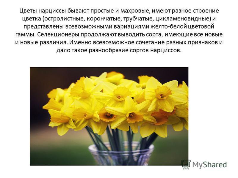 Цветы нарциссы бывают простые и махровые, имеют разное строение цветка (остролистные, корончатые, трубчатые, цикламеновидные) и представлены всевозможными вариациями желто-белой цветовой гаммы. Селекционеры продолжают выводить сорта, имеющие все новы