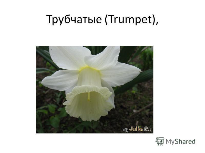 Трубчатые (Trumpet),