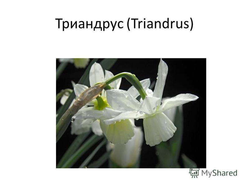 Триандрус (Triandrus)