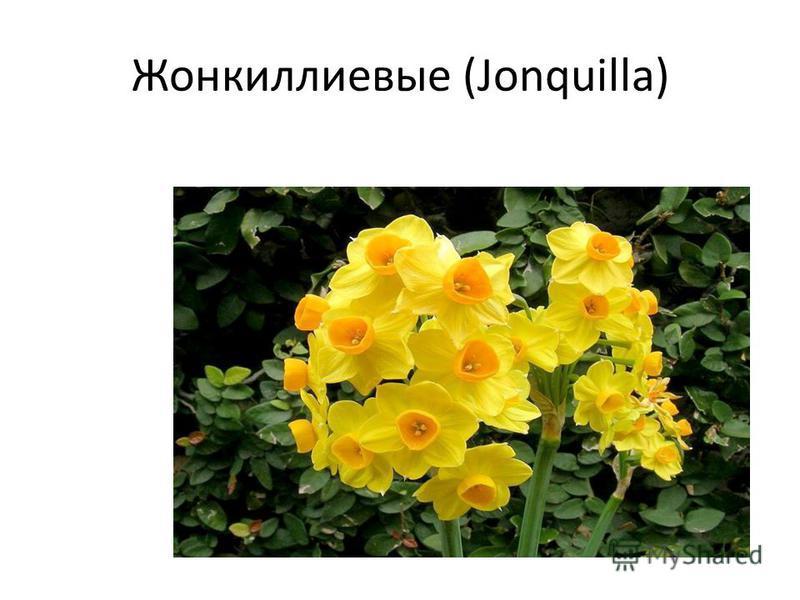 Жонкиллиевые (Jonquilla)