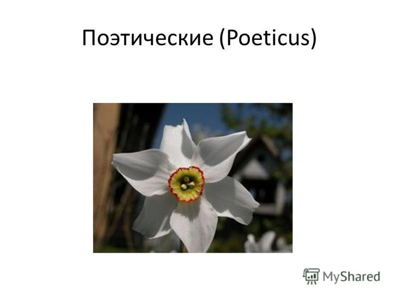 Поэтические (Poeticus)