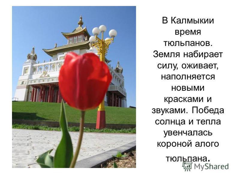 В Калмыкии время тюльпанов. Земля набирает силу, оживает, наполняется новыми красками и звуками. Победа солнца и тепла увенчалась короной алого тюльпана.