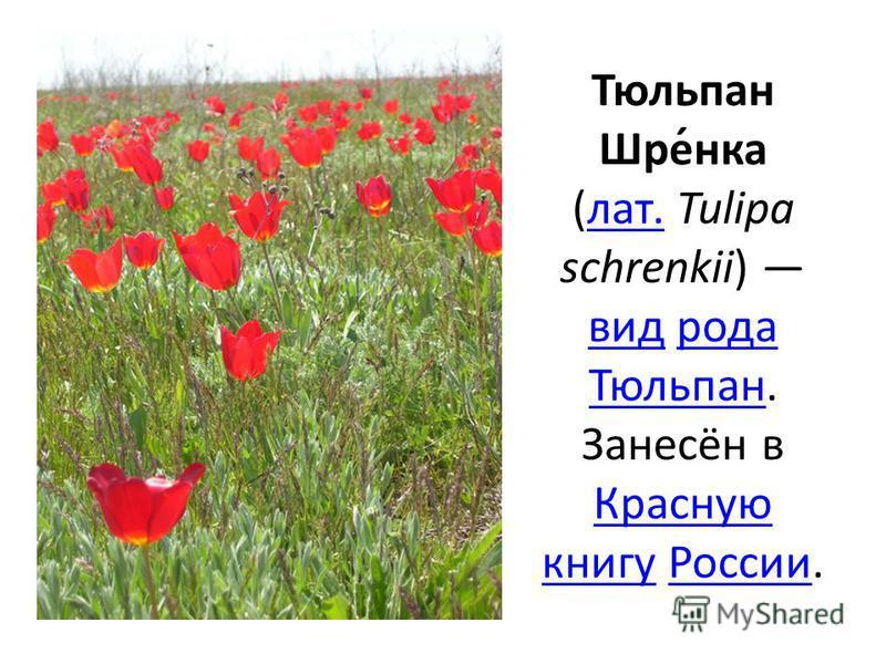 Тюльпан Шре́нка (лат. Tulipa schrenkii) вид рода Тюльпан. Занесён в Красную книгу России.лат. вид рода Тюльпан Красную книгу России