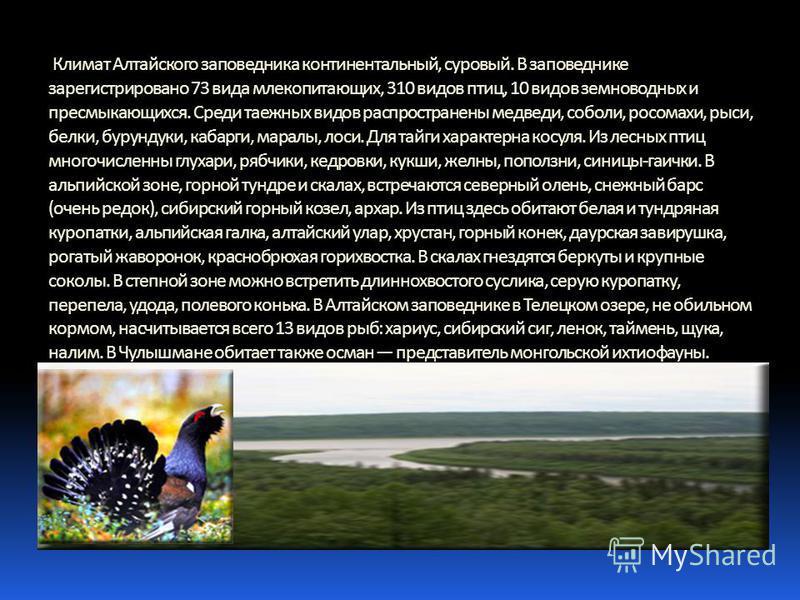Климат Алтайского заповедника континентальный, суровый. В заповеднике зарегистрировано 73 вида млекопитающих, 310 видов птиц, 10 видов земноводных и пресмыкающихся. Среди таежных видов распространены медведи, соболи, росомахи, рыси, белки, бурундуки,
