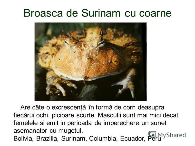 Broasca de Surinam cu coarne Are câte o excrescenţă în formă de corn deasupra fiecărui ochi, picioare scurte. Masculii sunt mai mici decat femelele si emit in perioada de imperechere un sunet asemanator cu mugetul. Bolivia, Brazilia, Surinam, Columbi