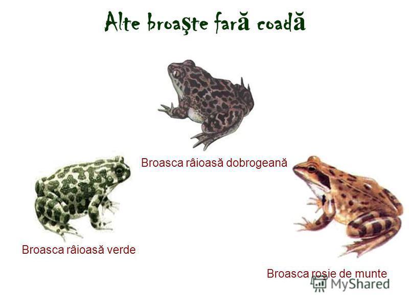 Alte broa ş te far ă coad ă Broasca roşie de munte Broasca râioasă dobrogeană Broasca râioasă verde