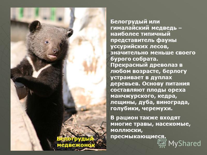 Мой край, мой город белогрудый Белогрудый или гималайский медведь – наиболее типичный представитель фауны уссурийских лесов, значительно меньше своего бурого собрата. Прекрасный древолаз в любом возрасте, берлогу устраивает в дуплах деревьев. Основу