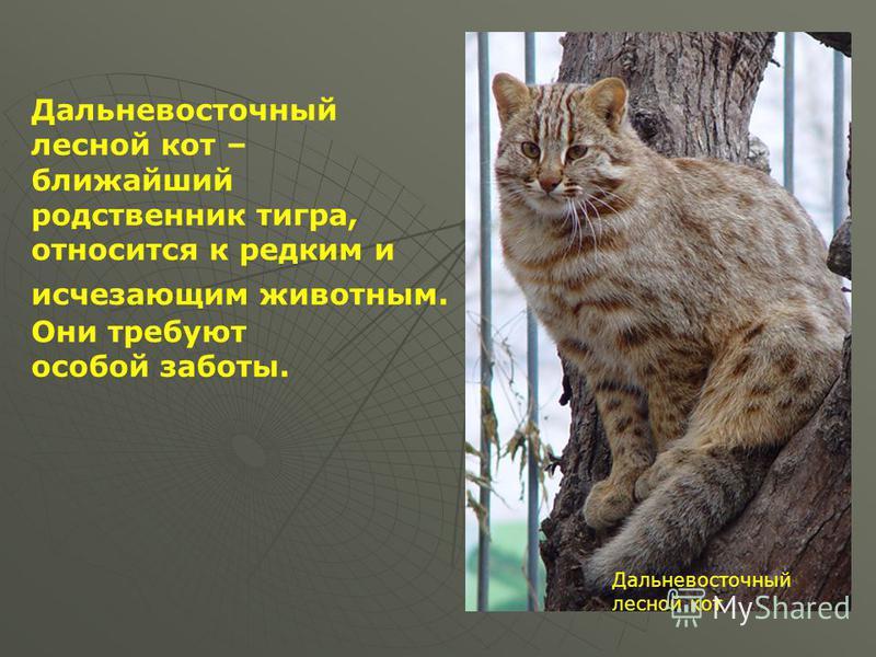 Мой край, мой город лесной кот Дальневосточный лесной кот Дальневосточный лесной кот – ближайший родственник тигра, относится к редким и исчезающим животным. Они требуют особой заботы.