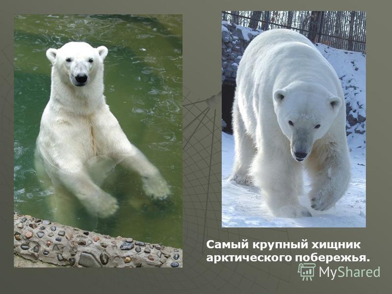 Мой край, мой город белый медведь Самый крупный хищник арктического побережья.