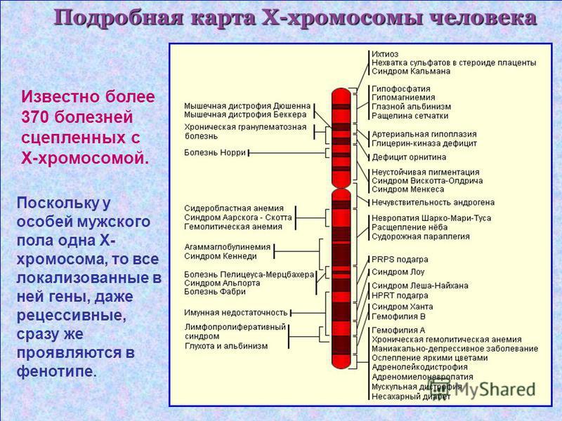 Подробная карта Х-хромосомммы человека Известно более 370 болезней сцепленных с Х-хромосомммой. Поскольку у особей мужского пола одна Х- хромосоммма, то все локализованные в ней гены, даже рецессивные, сразу же проявляются в фенотипе.