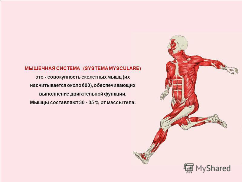 МЫШЕЧНАЯ СИСТЕМА (SYSTEMA MYSCULARE) это - совокупность скелетных мышц (их насчитывается около 600), обеспечивающих выполнение двигательной функции. Мышцы составляют 30 - 35 % от массы тела.