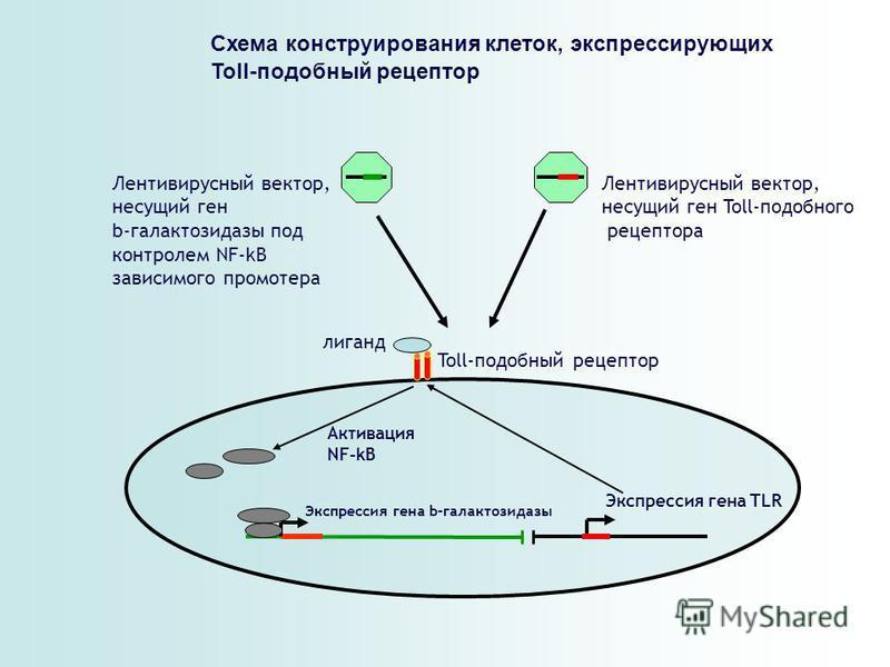 Схема конструирования клеток, экспрессирующих Toll-подобный рецептор Лентивирусный вектор, несущий ген b-галактозидазы под контролем NF-kB зависимого промоутера Лентивирусный вектор, несущий ген Toll-подобного рецептора Экспрессия гена b-галактозидаз