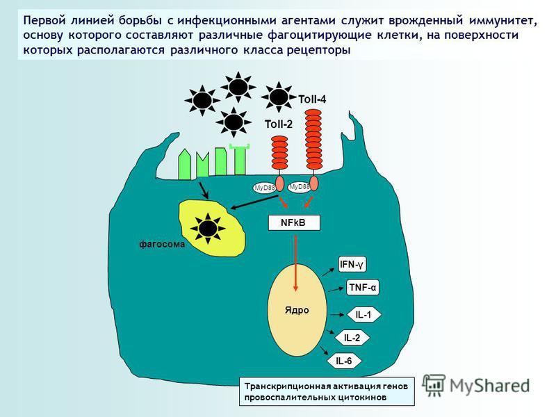 Toll-2 Toll-4 MyD88 NFkB Ядро IFN-γ TNF-α IL-1 IL-2 IL-6 Транскрипционная активация генов провоспалительных цитокинов Первой линией борьбы с инфекционными агентами служит врожденный иммунитет, основу которого составляют различные фагоцитирующие клетк