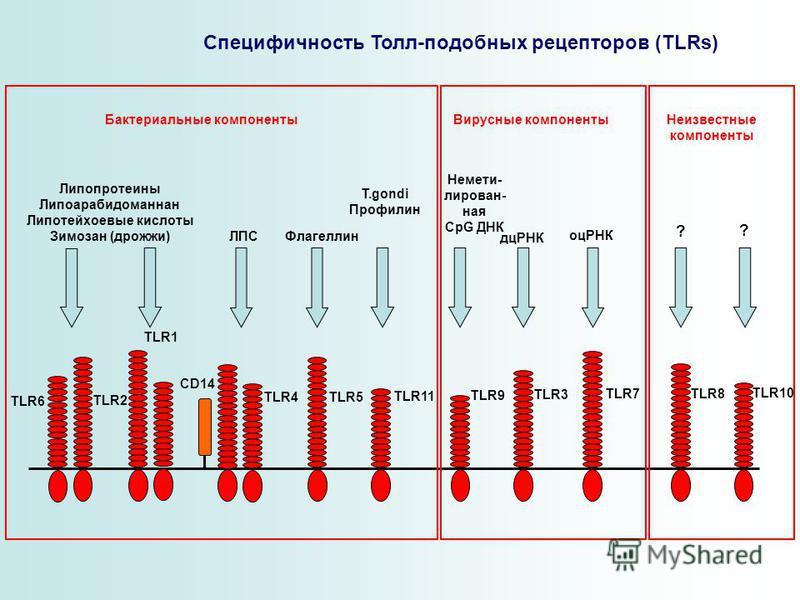 Специфичность Толл-подобных рецепторов (TLRs) TLR6 TLR2 TLR1 TLR5 TLR11 TLR9 TLR3 TLR7TLR8 TLR10 TLR4 CD14 Липопротеины Липоарабидоманнан Липотейхоевые кислоты Зимозан (дрожжи) ЛПС Флагеллин T.gondi Профилин Немети- лирован- ная CpG ДНК дцРНК оцРНК ?