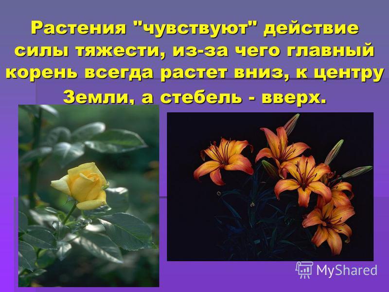 Растения чувствуют действие силы тяжести, из-за чего главный корень всегда растет вниз, к центру Земли, а стебель - вверх.