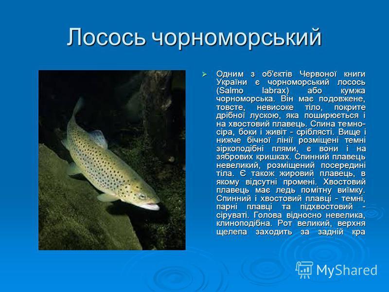 Лосось чорноморський Одним з об'єктів Червоної книги України є чорноморський лосось (Salmo labrax) або кумжа чорноморська. Він має подовжене, товсте, невисоке тіло, покрите дрібної лускою, яка поширюється і на хвостовий плавець. Спина темно- сіра, бо