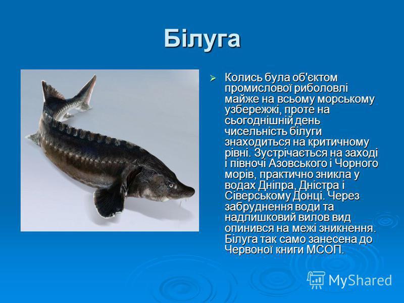Білуга Колись була об'єктом промислової риболовлі майже на всьому морському узбережжі, проте на сьогоднішній день чисельність білуги знаходиться на критичному рівні. Зустрічається на заході і півночі Азовського і Чорного морів, практично зникла у вод