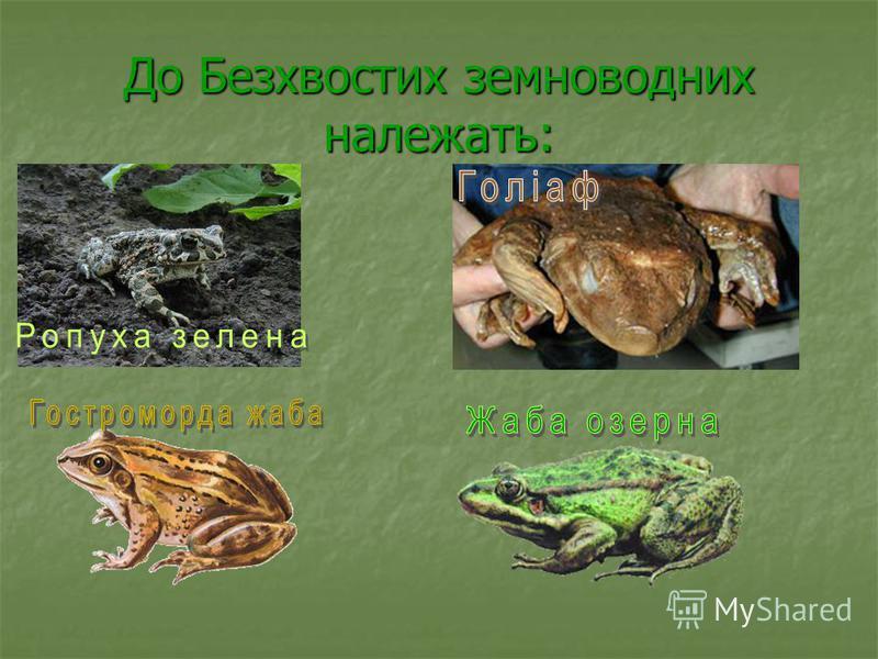 До Безхвостих земноводних належать: