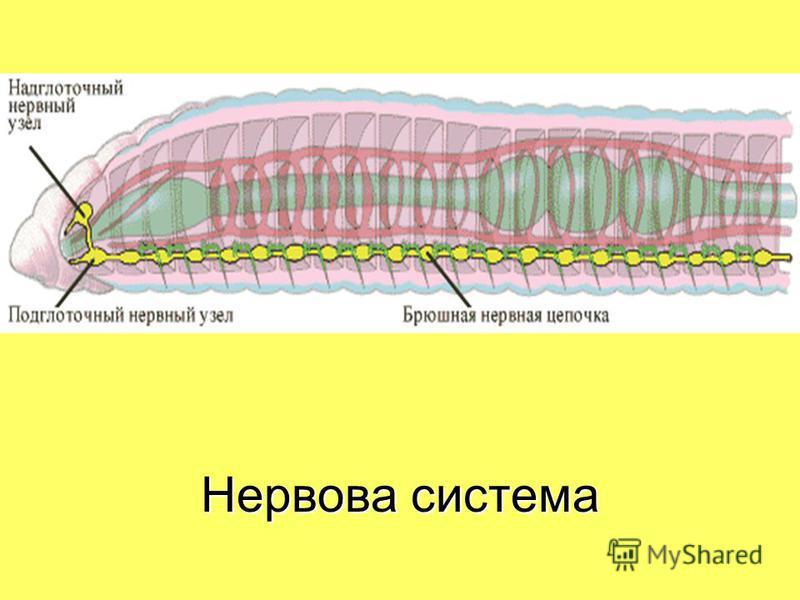Нервова система.