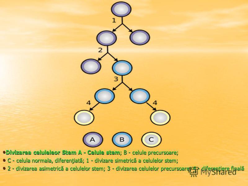 Divizarea celuleleor Stem A - Celule stem; B - celule precursoare; Divizarea celuleleor Stem A - Celule stem; B - celule precursoare; C - celula normala, diferenţiată; 1 - divizare simetrică a celulelor stem; C - celula normala, diferenţiată; 1 - div