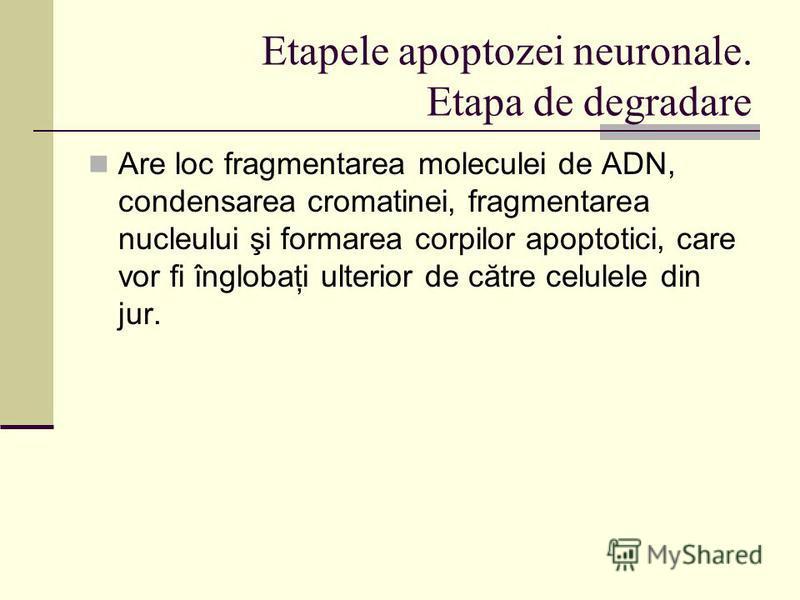 Etapele apoptozei neuronale. Etapa de degradare Are loc fragmentarea moleculei de ADN, condensarea cromatinei, fragmentarea nucleului şi formarea corpilor apoptotici, care vor fi înglobaţi ulterior de către celulele din jur.
