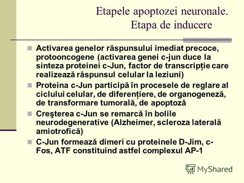 Etapele apoptozei neuronale. Etapa de inducere Activarea genelor răspunsului imediat precoce, protooncogene (activarea genei c-jun duce la sinteza proteinei c-Jun, factor de transcripţie care realizează răspunsul celular la leziuni) Proteina c-Jun pa