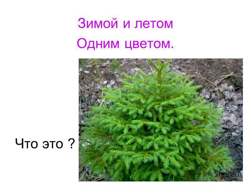 Зимой и летом Одним цветом. Что это ?