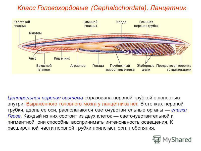 Класс Головохордовые (Cephalochordata). Ланцетник Центральная нервная система образована нервной трубкой с полостью внутри. Выраженного головного мозга у ланцетника нет. В стенках нервной трубки, вдоль ее оси, располагаются светочувствительные органы