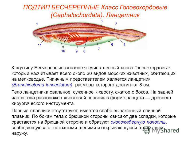 ПОДТИП БЕСЧЕРЕПНЫЕ Класс Головохордовые (Cephalochordata). Ланцетник К подтипу Бесчерепные относится единственный класс Головохордовые, который насчитывает всего около 30 видов морских животных, обитающих на мелководье. Типичным представителем являет