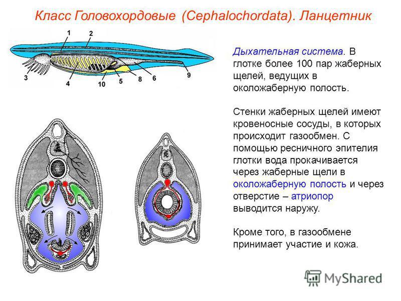 Класс Головохордовые (Cephalochordata). Ланцетник Дыхательная система. В глотке более 100 пар жаберных щелей, ведущих в околожаберную полость. Стенки жаберных щелей имеют кровеносные сосуды, в которых происходит газообмен. С помощью ресничного эпител