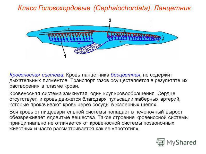 Класс Головохордовые (Cephalochordata). Ланцетник Кровеносная система. Кровь ланцетника бесцветная, не содержит дыхательных пигментов. Транспорт газов осуществляется в результате их растворения в плазме крови. Кровеносная система замкнутая, один круг